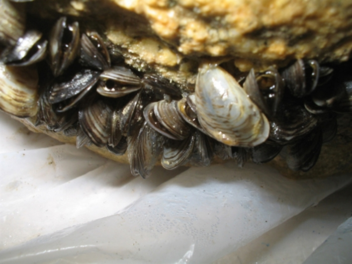 Zebra and quagga mussels are identified as two of B.C.'s most