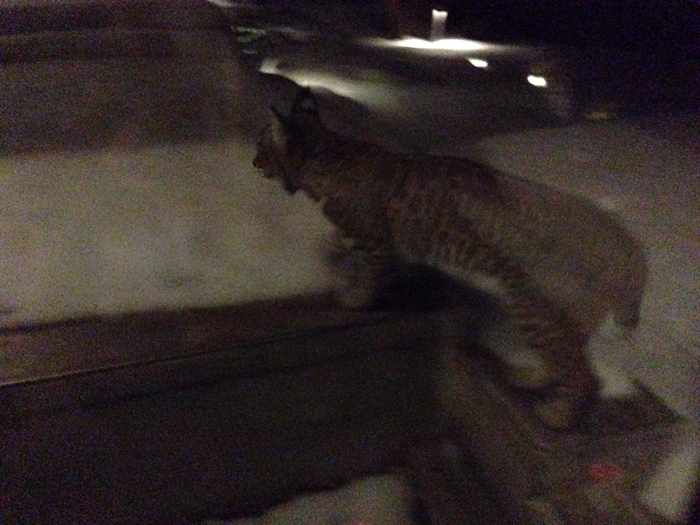 David Krysko says he photographed this bobcat Friday night, Jan. 9, 2015, trying to get in his house on Lakeshore Road, just down the hill from Kettle Valley.