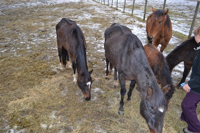 The SPCA seized 16 horses from Roberts' Armstrong property Dec. 11, 2014.