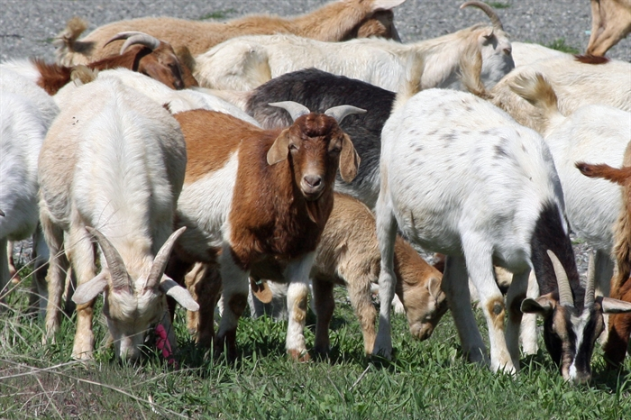Goats can eat many weeds toxic to other animals, making them an ideal form of noxious weed control.