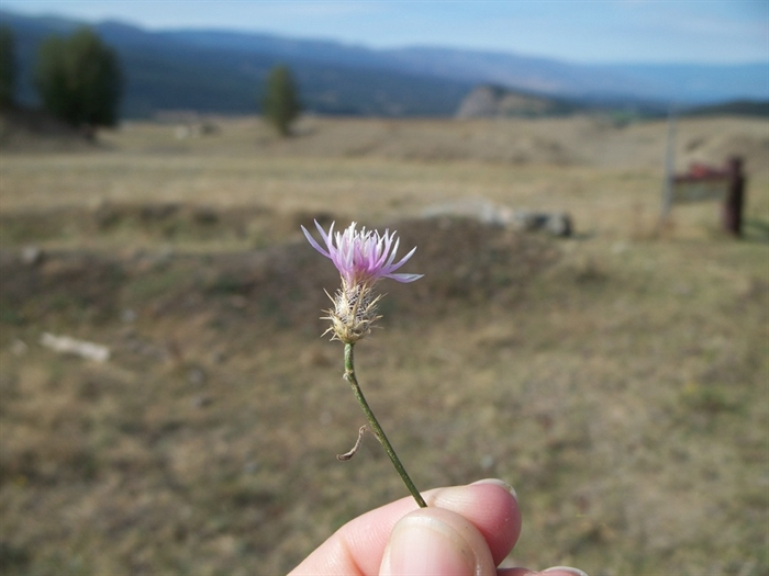 Spotted knapweed is one of the common invasive plants targeted for control in the Thompson-Okanagan.