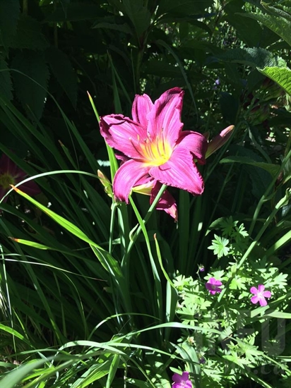 Day lily also from Sedgman's garden.