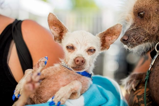 Pork, a 13-year-old Chihuahua, gets some unwanted attention from a rival in the World's Ugliest Dog Contest at the Sonoma-Marin Fair on Friday, June 26, 2015, in Petaluma, Calif.