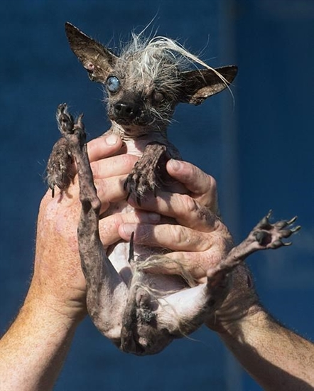 Sweepee Rambo, a 16-year-old Chinese Crested dog, competes in the World's Ugliest Dog Contest at the Sonoma-Marin Fair, Friday, June 26, 2015, in Petaluma, Calif. She won the runner-up award.