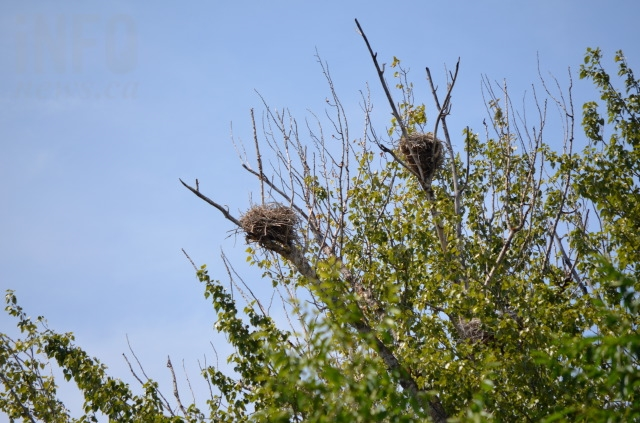 Great Blue Heron nests at the rookery owned by Jan Bos, located about 200 metres from the Barnard's Village housing development site.