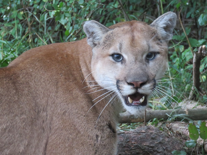 This cougar was trapped and euthanized Aug. 31 after preying on livestock in Lumby.