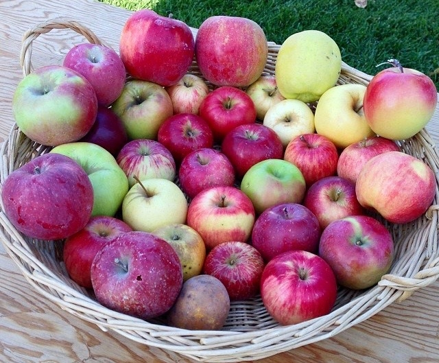 Apple Early Days : Grist mill s apple day too late for early harvest infonews