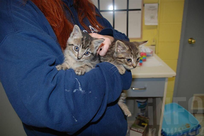 The Kamloops SPCA needs volunteers to help foster feral kittens like Dizzy and Sid.