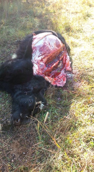 This cow was found dead with its back tenderloins removed on the Wasylyszyn's range lands near Cherryville Oct. 20, 2015.