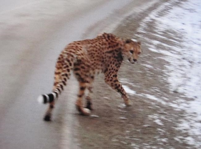 Creston RCMP released this photo of an adult cheetah that was spotted along Highway 3a Thursday afternoon in the Crawford Bay and Kootenay Bay areas of British Columbia.