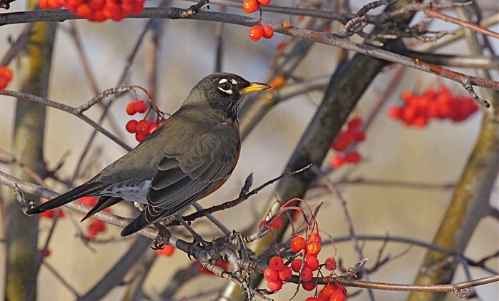 American Robin and Mountain Ash