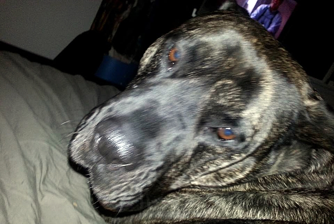 Jake, a Perro de Presa Canario, was euthanized this week by court order.