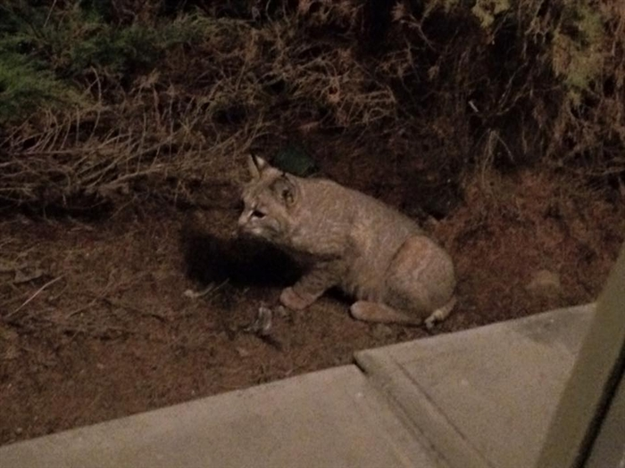 This animal, believed to be a bobcat or a lynx, was spotted near the waterslides at the north end of Vernon.