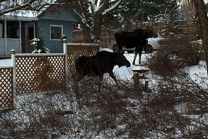 A Glenrosa resident took these pictures of two moose in a neighbours yard Thursday, Feb. 4.