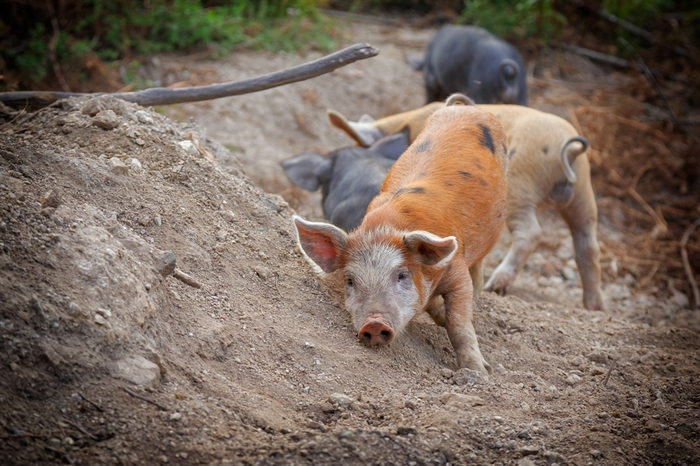 Feral pigs still tracked as invasive species in B C  despite