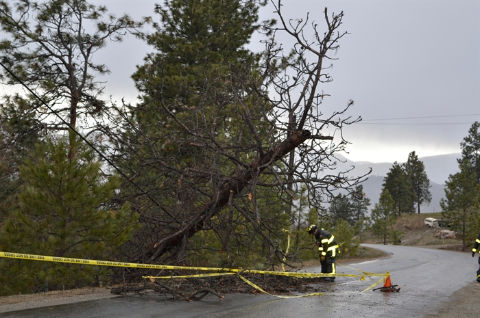 A tree knocked over in the windstorm Saturday, March 12, 2016 grabbed a Telus line on its way down in the 1500-block of Lewis Road.