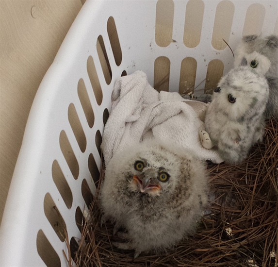 Two baby owls will be available for public viewing at an open house scheduled for May 1.