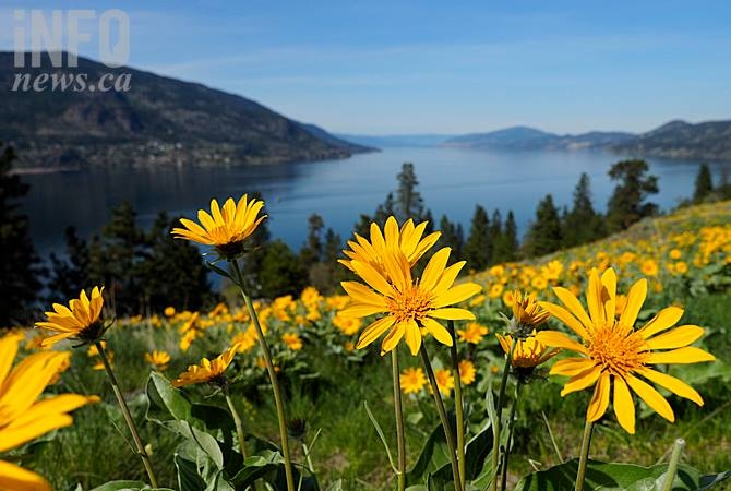Okanagan sunflowers on Knox Mountain in Kelowna.