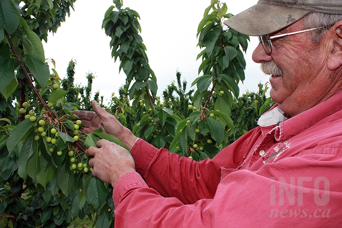 Oliver cherry grower Greg Norton displays rapidly growing Rainier cherries on his Oliver orchard. Norton expects to be harvesting in late June this year.