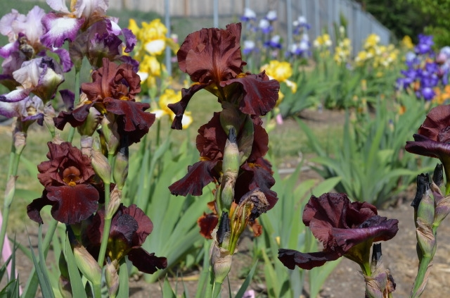 Unruh started collecting irises five years ago and says it 'got a little out of control.'