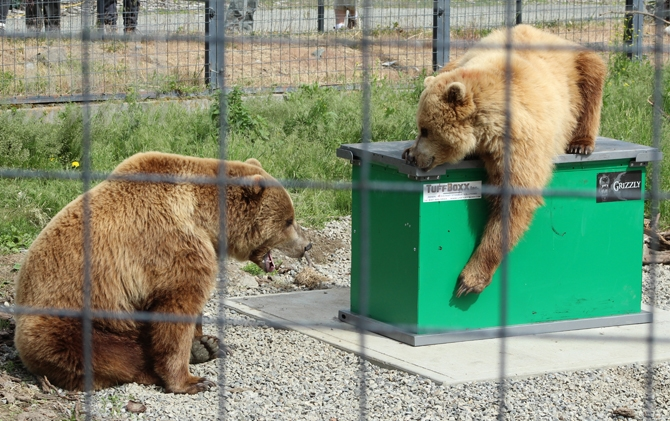 The B.C. Wildlife Park's two young Grizzly bears Dawson and Knute argue over the garbage bin they are testing for its bear resistance on Thursday, May 19, 2016.