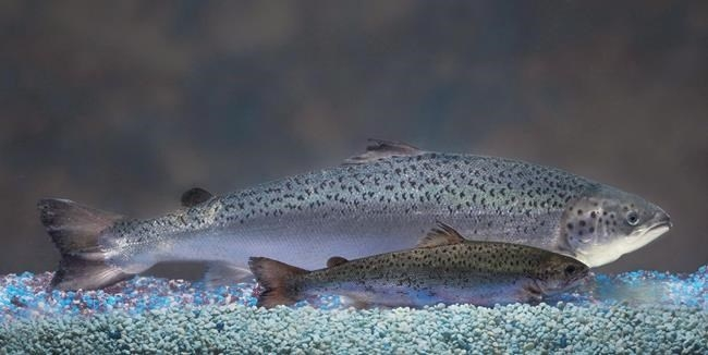 This undated 2010 file handout photo provided by AquaBounty Technologies shows two same-age salmon, a genetically modified salmon, rear, and a non-genetically modified salmon, foreground. A genetically engineered salmon has been approved for sale for consumption by humans and livestock feed by Canadian food regulators.
