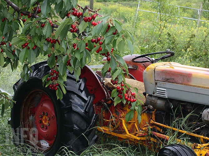 A sudden change in the weather could cause problems in what was a great year for cherry growers in the Okanagan.