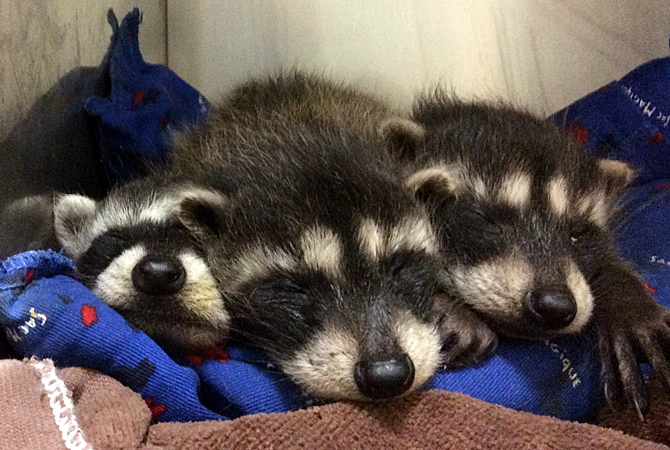 Three baby raccoons were brought to Dr. Moshe Oz of Rose Valley Veterinary Hospital in West Kelowna. He and his staff nursed them back to health and was able to find homes for all three.