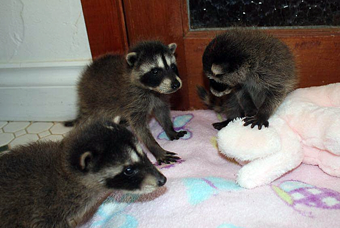 The three baby raccoons rescued by a West Kelowna man and cared for by the staff at Rose Valley Veterinary Hospital are doing well in their new home.