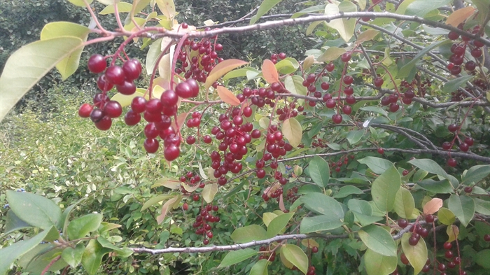 Chokecherries dangle from their branches in like small bunches of grapes. They are found in two colours. The one pictured is red and resembles sour cherries.