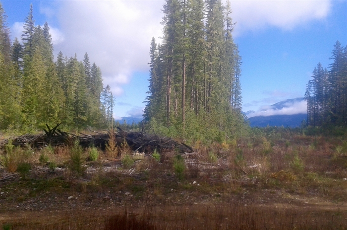 Strip logging in the forest near Nakusp.