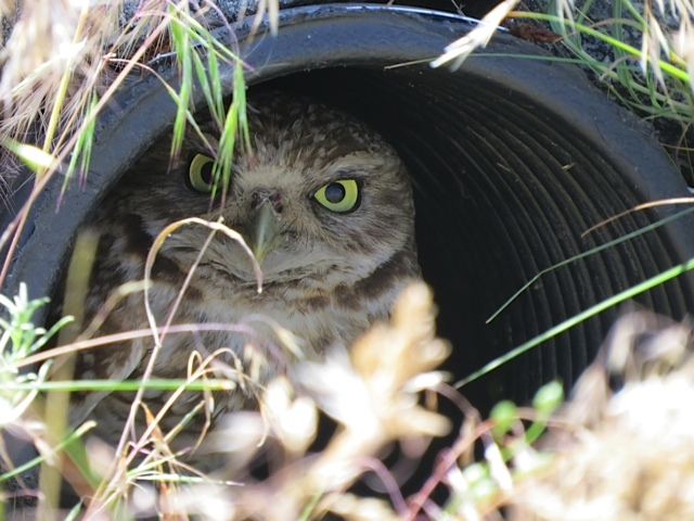 FILE PHOTO: Owls, like this one living near Osoyoos, will be released into the new burrow area near Napier Lake in spring of 2017.