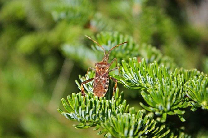 The western conifer seed bug is often mistaken for the brown marmorated stink bug, says entomologist Susannah Acheampong.