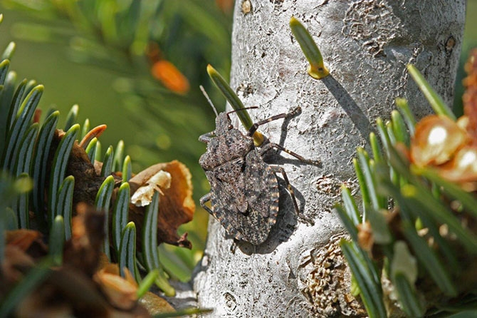 The rough stink bug can also be mistaken for the brown marmorated stink bug. 