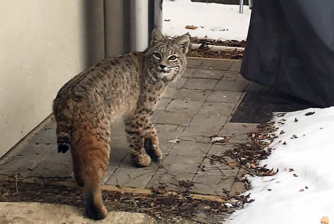 A bobcat was seen wandering around a Lakeshore Road home Wednesday, Dec. 28, 2016.