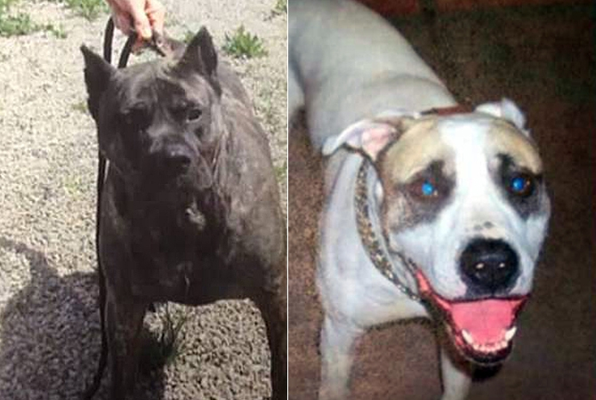 A judge ruled that Jake (left) be declared a dangerous dog and euthanized, while Buddy (right) must be housed under strict conditions after both attacked a much smaller dog in Peachland Jan. 1, 2015.