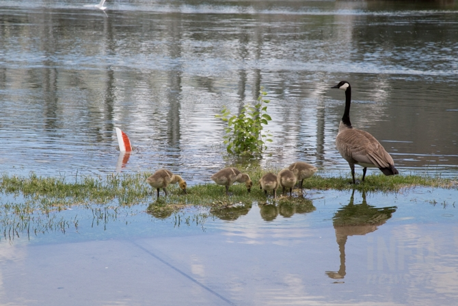 At least the geese and goslings are enjoying the high waters at Riverside Park.