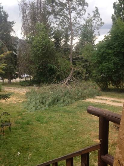 The wind snapped this tree in Salmon Arm's Ranchero neighbourhood.