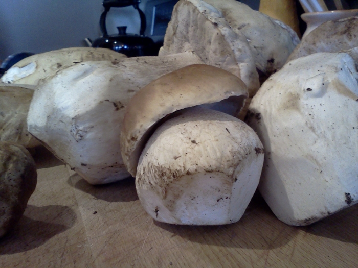 The king bolete is one of the world's most sought after edible fungi.