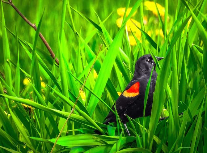 A red-winged black bird, between Enderby and Armstrong.
