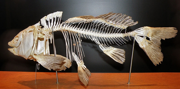 Photograph of a common carp skeleton.