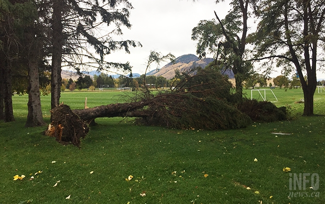 This tree at McArthur Island Park was uprooted due to heavy winds in Kamloops today, Oct. 17, 2017.
