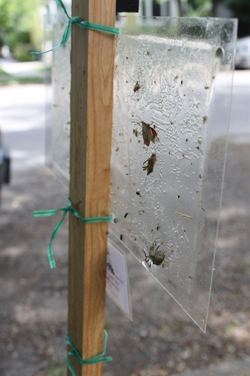 Invasive stink bugs caught on a sticky trap.