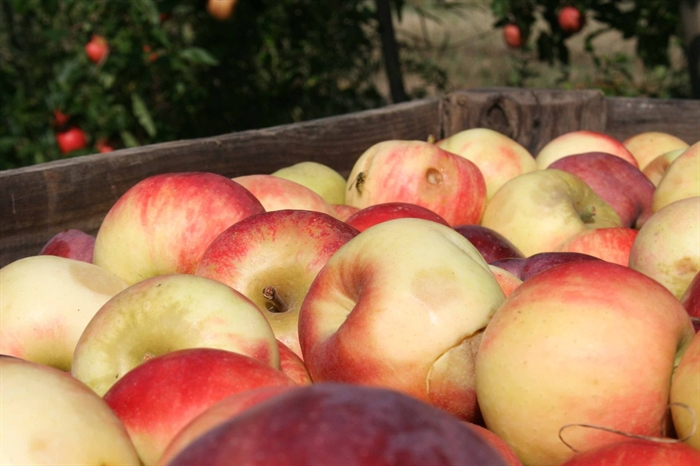 Sales of the 2020 Okanagan apple crop are getting off to a disastrous start as growers are being offered 12 cents a pound against production costs of 30 to 35 cents per pound.