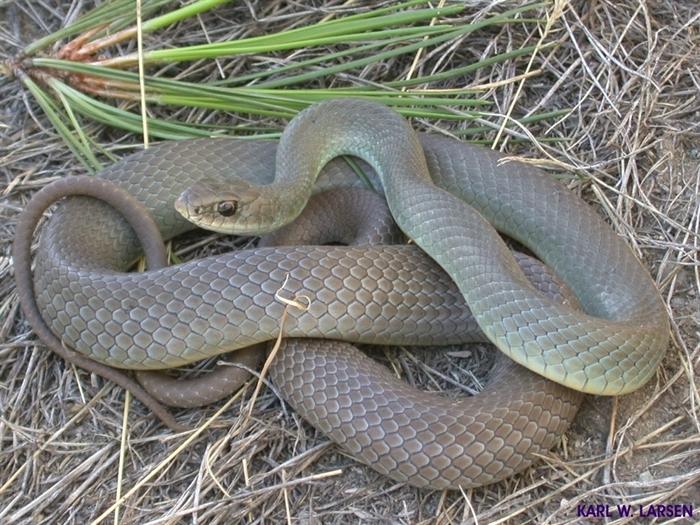 Don T Be Ssscared The 7 Snakes Of The Thompson Okanagan Infonews Thompson Okanagan S News Source
