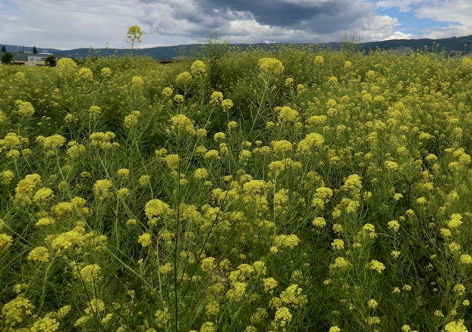 Wild mustard is another noxious weed.