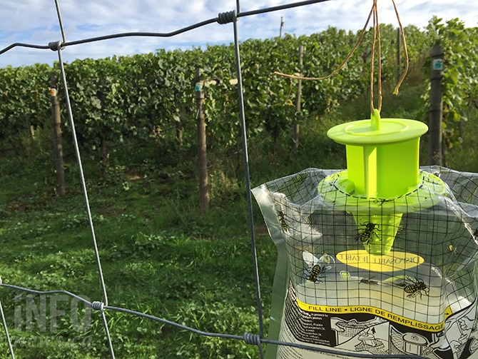 Vineyard protection from wasps include traps and rot prevention sprays.