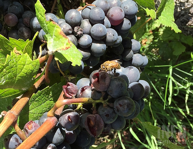 A late season wasp infestation is proving to be a late-season headache for some Okanagan vineyards.