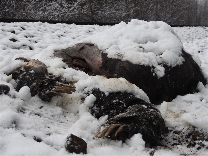 The remains of a grizzly bear found near the train tracks in Malakwa in the fall of 2018.