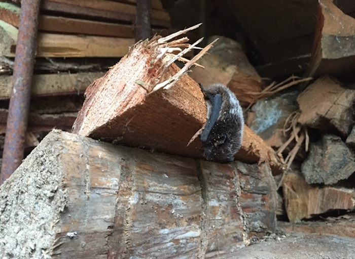 Bats may hibernate in woodpiles. If you spot on, snap a photo and report it to the B.C. Community Bat Program.